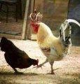 Курица и петух в короне