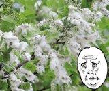 мем Аллергия - тополиный пух