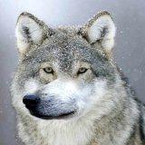 мем Ауф волк
