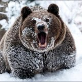 мем Кокаиновый медведь