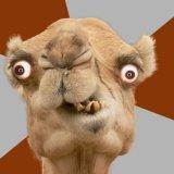 мем Сумасшедший верблюд