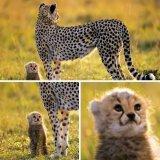 мем Детеныш леопарда