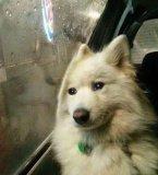 мем Грустная собака смотрит в окно