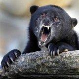 мем Исповедь безумного медведя