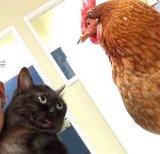 мем Кот и петух