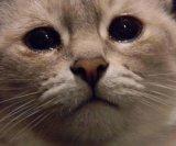 мем Кот плачет