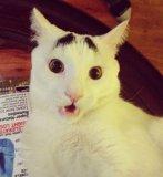 мем Кот с бровями