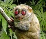 мем Лемур с красными глазами