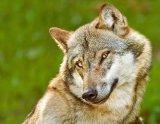 мем Милый волк