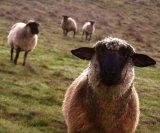 мем Наивная овца