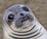 мем Неуклюжий тюлень