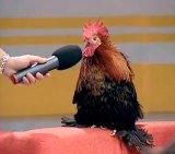 мем Петух и микрофон