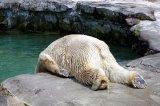 мем Похмелье медведя