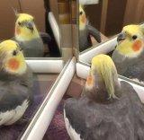 мем Попугай смотрит в зеркало