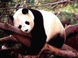 мем Прокрастинирующая панда