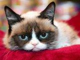 мем Сердитая кошка