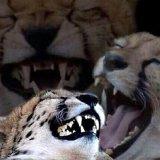 мем Смеющийся гепард