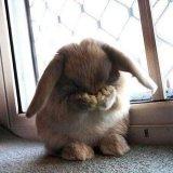 мем Стыдящийся кролик