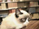 мем Угрюмый кот Тард