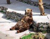мем Уставший медведь