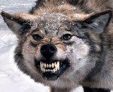 мем Волк скалится