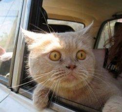 Бегите глупцы - кот