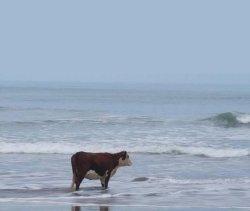 Корова смотрит на море