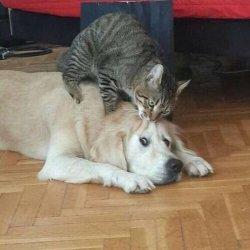 Кошка кусает собаку