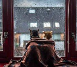 Кошки смотрят дождь из окна