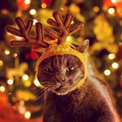 Кот с оленьими рогами на голове