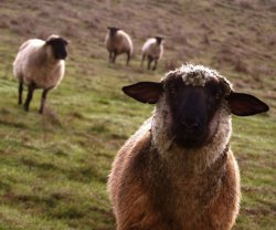 Наивная овца