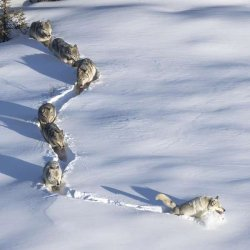 Шерстяной волчара