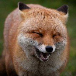 Смеющаяся лиса