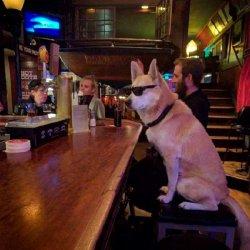 Собака в очках за барной стойкой